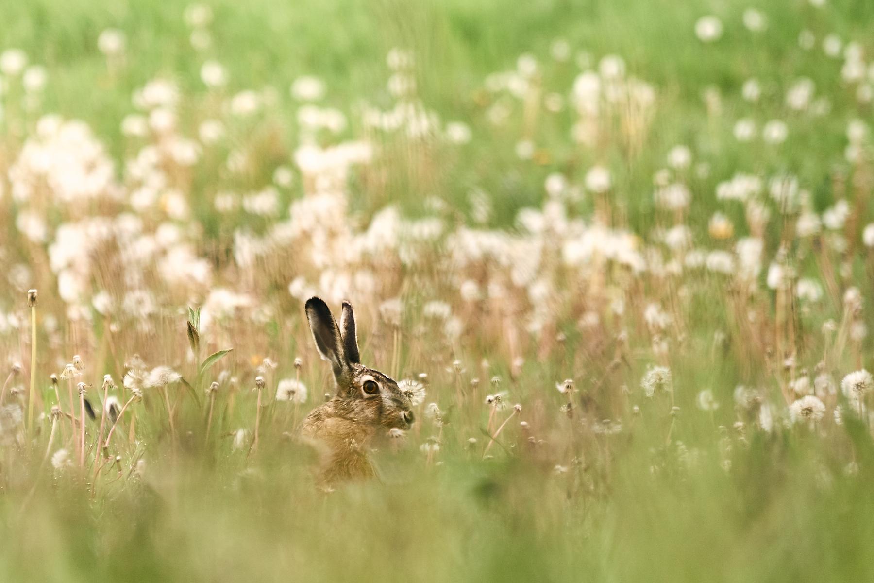 Hare i blandt mælkebøtter