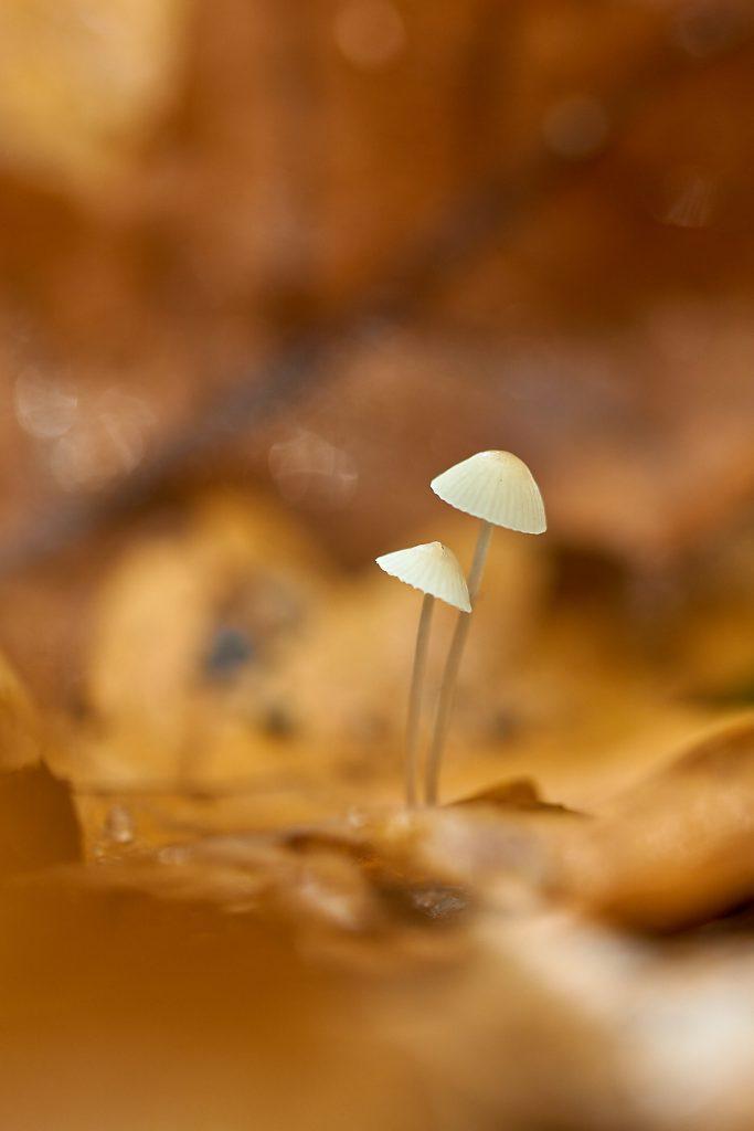 Tosomhed svamp