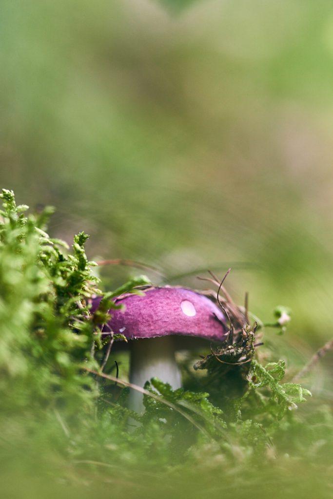 Lilla svamp i grøn mos